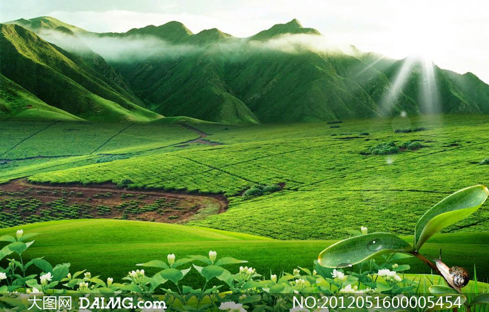 早晨阳光下绿色茶园psd分层素材