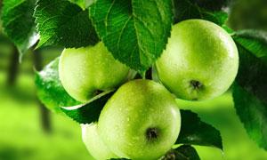 树上的未成熟青苹果摄影高清图片
