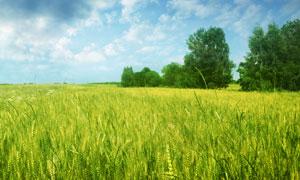 蓝天白云大树麦田摄影高清图片
