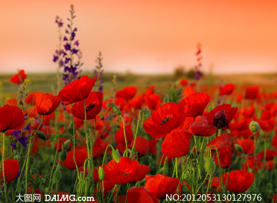关键词: 高清摄影图片素材大图自然风景风光傍晚黄昏花草花丛鲜花花朵