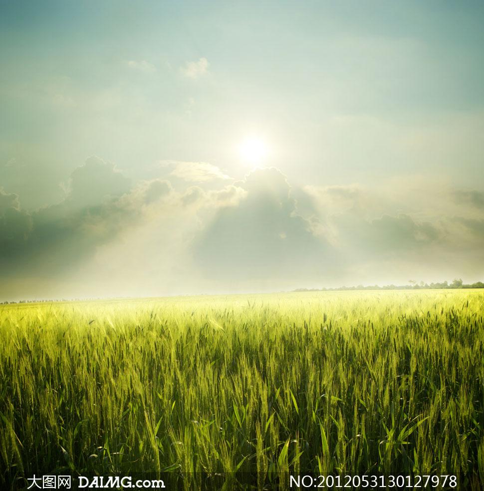 高清摄影图片素材大图自然风景风光傍晚黄昏麦穗小麦