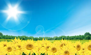 阳光下的向日葵PSD分粗素材