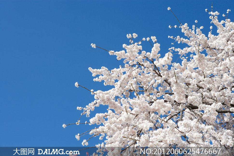 开满白色鲜花的树枝摄影高清图片