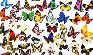 各种各样的蝴蝶飞舞PSD分层素材