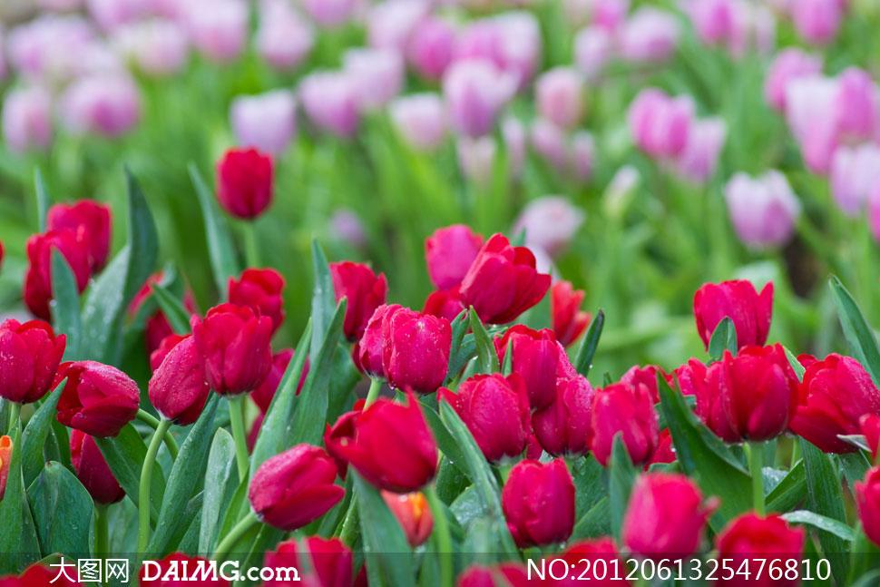 鲜艳盛开的郁金香花朵高清摄影图片