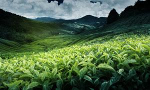 山坡上种植的茶园风光摄影高清图片