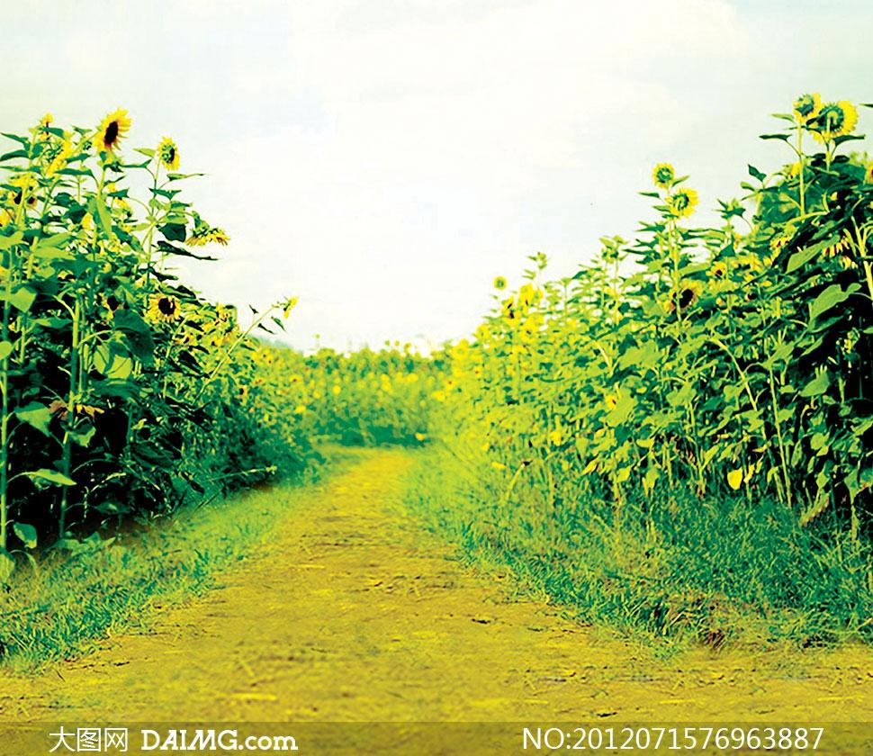 通往葵花园的小路影楼摄影背景图片