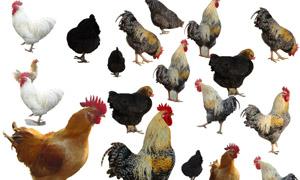 公鸡和母鸡等家禽等PSD分层素材