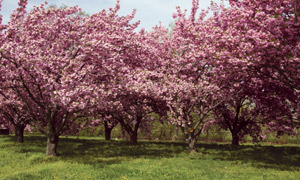 盛开的粉色桃花园摄影图片