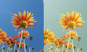 花朵照片质感黄色调调色动作