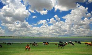 坝上草原上的牛马自然摄影高清图片