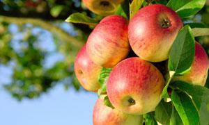 苹果树上的成熟果实摄影高清图片