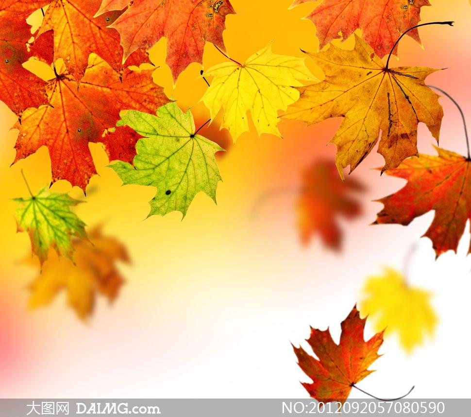 秋天落下的梧桐树叶摄影高清图片