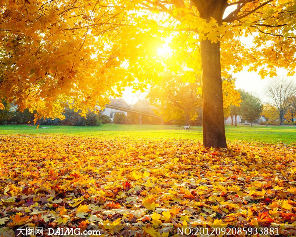 大树与草地上的落叶摄影高清图片