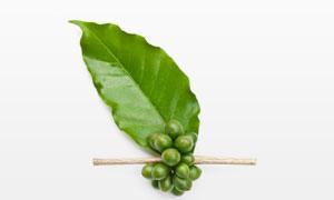 绿叶与未成熟的咖啡豆高清摄影图片