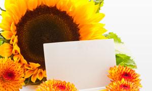 花瓣向日葵与白色卡片摄影高清图片
