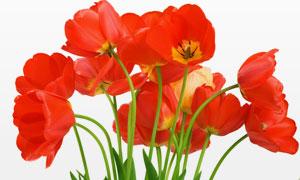 红色郁金香花朵特写摄影高清图片