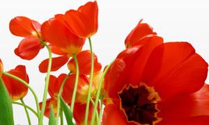 鲜艳的红色郁金香花朵摄影高清图片