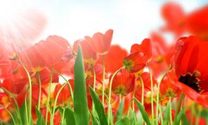 红色鲜艳郁金香花丛摄影高清图片