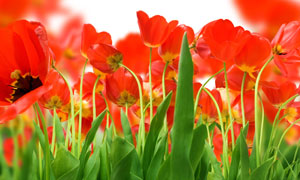 红花绿叶郁金香特写摄影高清图片