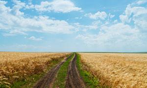 乡村小路两旁的小麦田摄影高清图片
