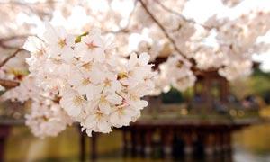 日本樱花风景摄影图片