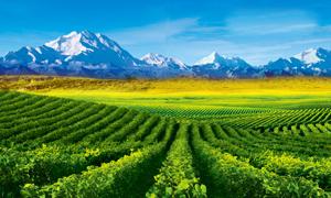 葡萄田种植基地摄影图片