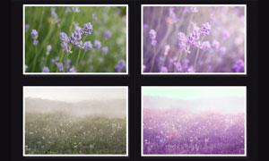 花朵照片唯美紫色效果调色动作