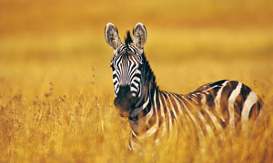 草地上乱草丛里的斑马摄影高清图片