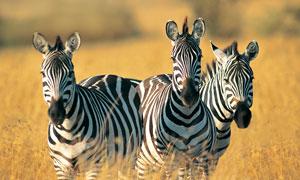 草丛中的三只斑马特写摄影高清图片