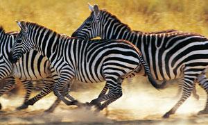 草地上奔跑中的斑马群摄影高清图片