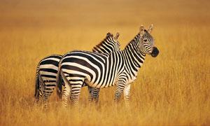 草原上的两匹斑马近景摄影高清图片