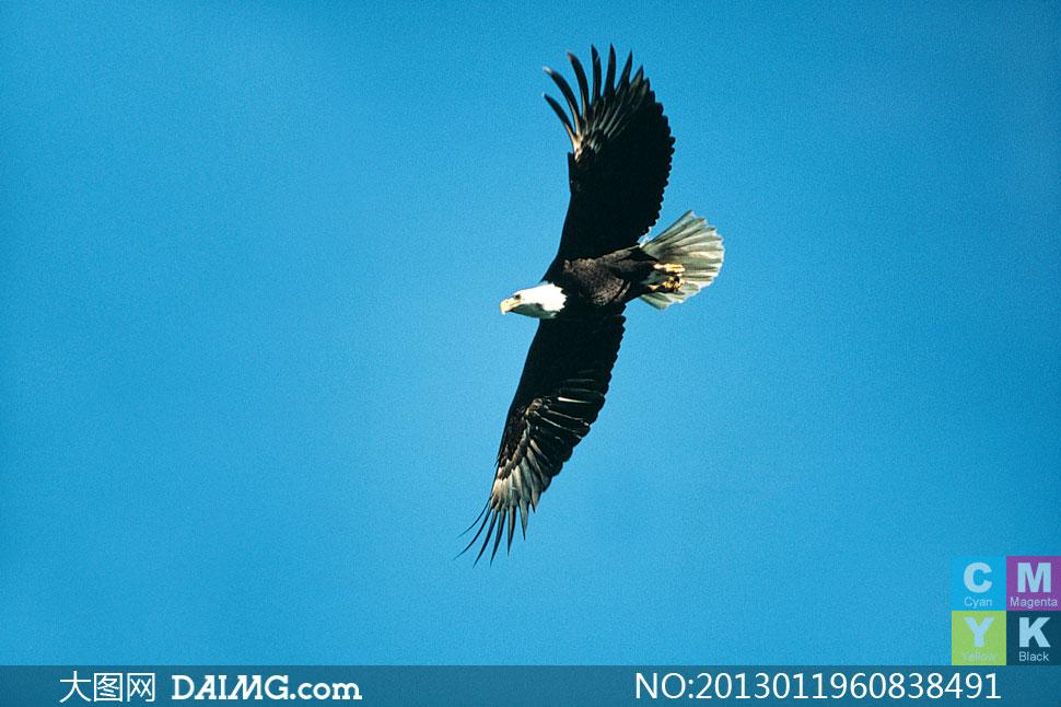 关键词: 高清摄影大图图片素材生物动物老鹰雄鹰天空空中翱翔飞翔飞行