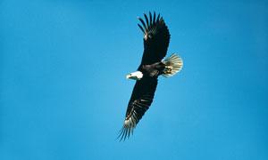蓝天下展翅飞翔的老鹰摄影高清图片