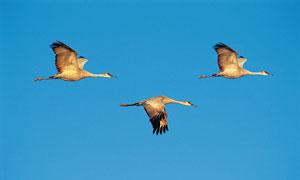 蓝色天空中飞翔的大雁摄影高清图片