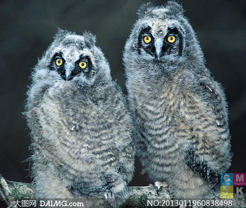 在枝头上的两只猫头鹰摄影高清图片