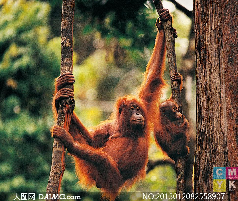 树林里攀爬树木的猩猩摄影高清图片