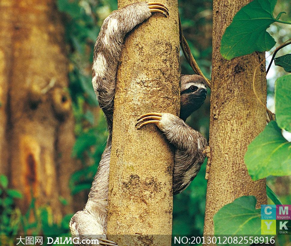 树林里攀爬树木的树懒摄影高清图片