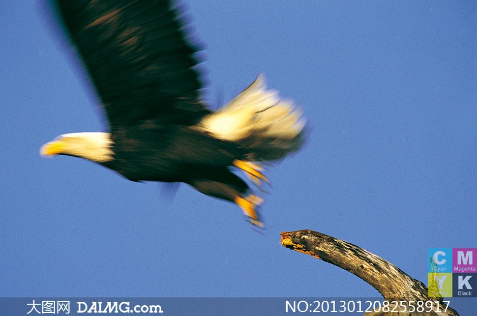 动态 老鹰/飞离枯树枝的老鹰动态摄影高清图片 / 大图网设...