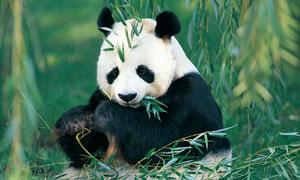 坐着吃竹子的国宝熊猫摄影高清图片