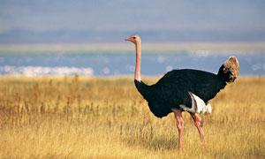 草地上散步的鸵鸟侧面摄影高清图片