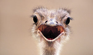 张着嘴的鸵鸟正面特写摄影高清图片