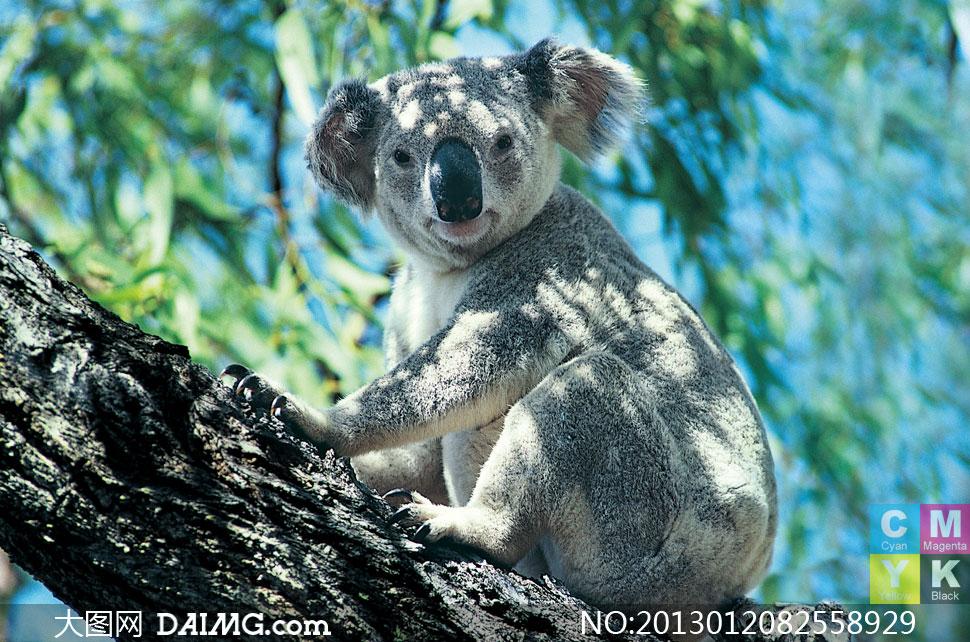 关键词: 高清摄影大图图片素材生物动物近景特写考拉熊大树树木