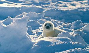 冰天雪地里的可爱海豹摄影高清图片