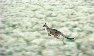 奔跑着的健硕袋鼠动态摄影高清图片