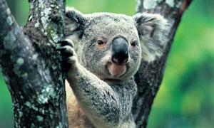 在树杈上呆着的考拉熊摄影高清图片