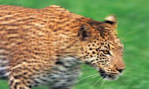 外出捕食的花斑豹特写摄影高清图片