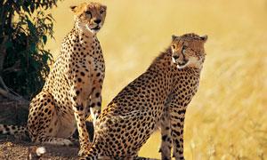 坐着的俩非洲猎豹特写摄影高清图片