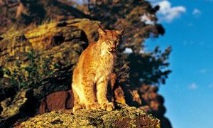 站在石头上的一只野猫摄影高清图片