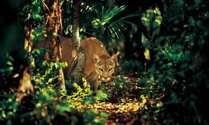 林中眼露凶光的美洲狮摄影高清图片